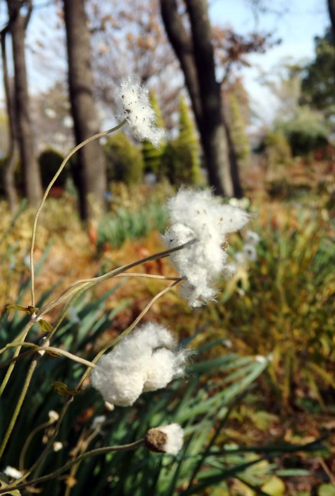 秋明菊の綿毛