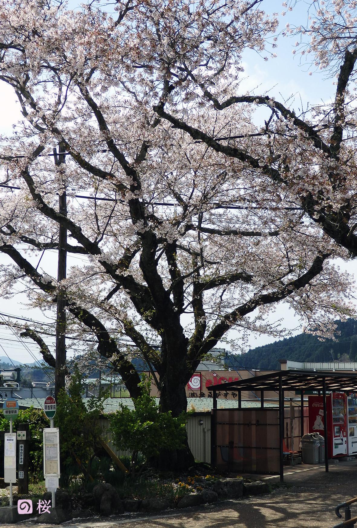 明智駅の桜