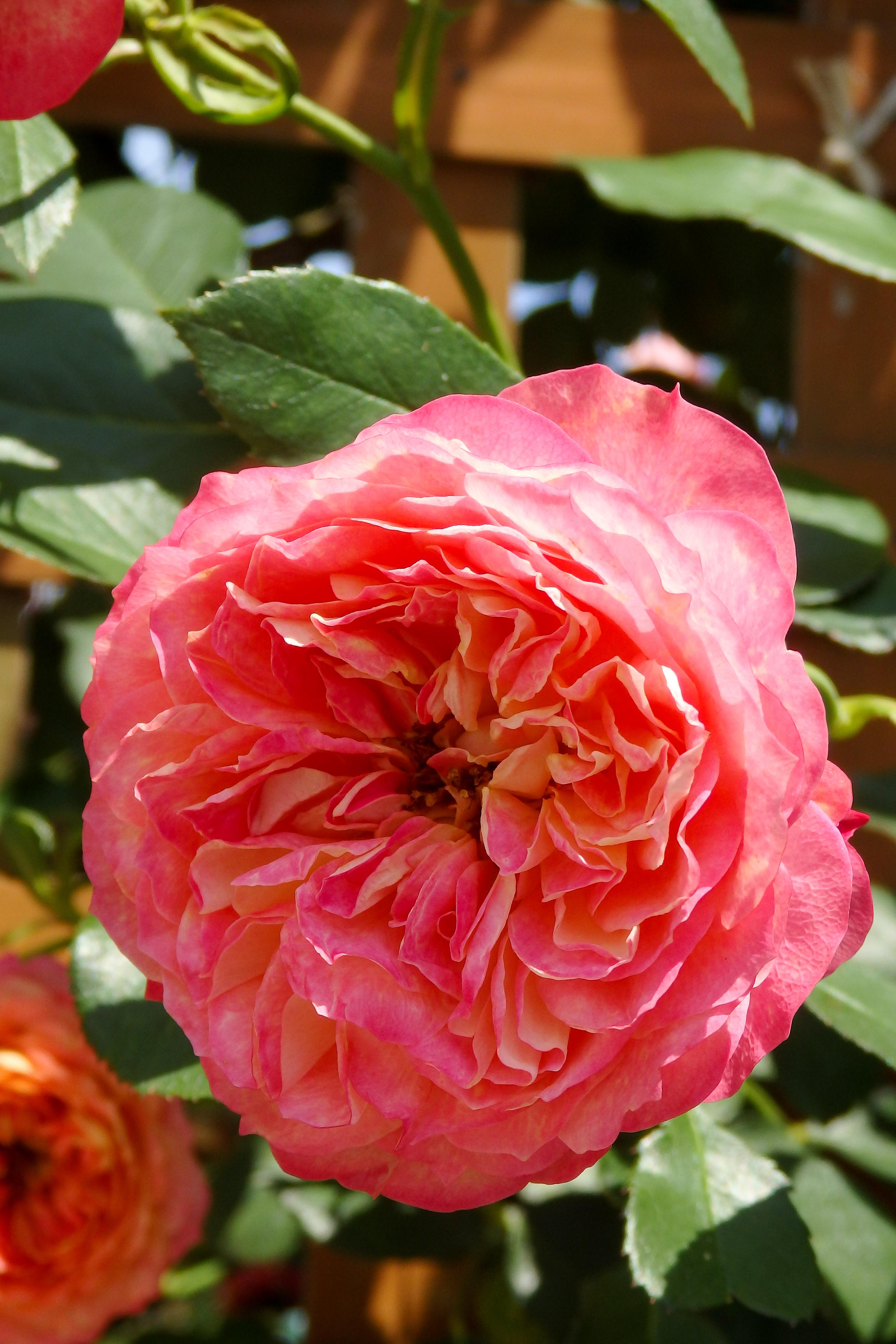 こぶりの八重咲が可愛らしい。
