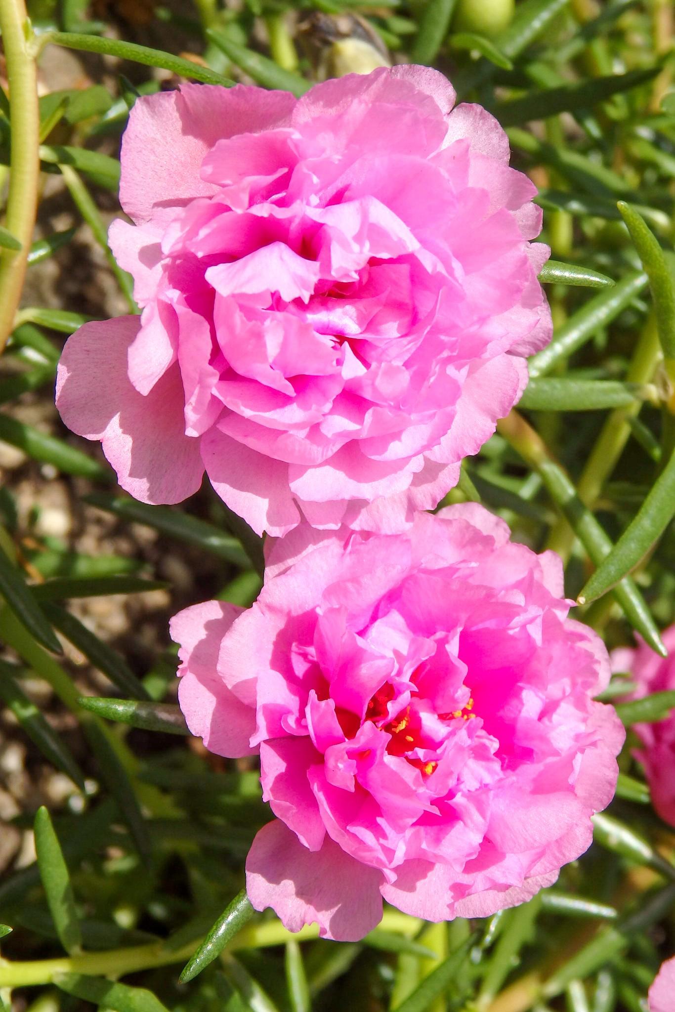 八重咲松葉牡丹