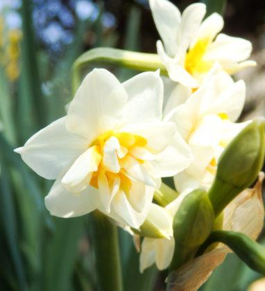 八重咲日本水仙