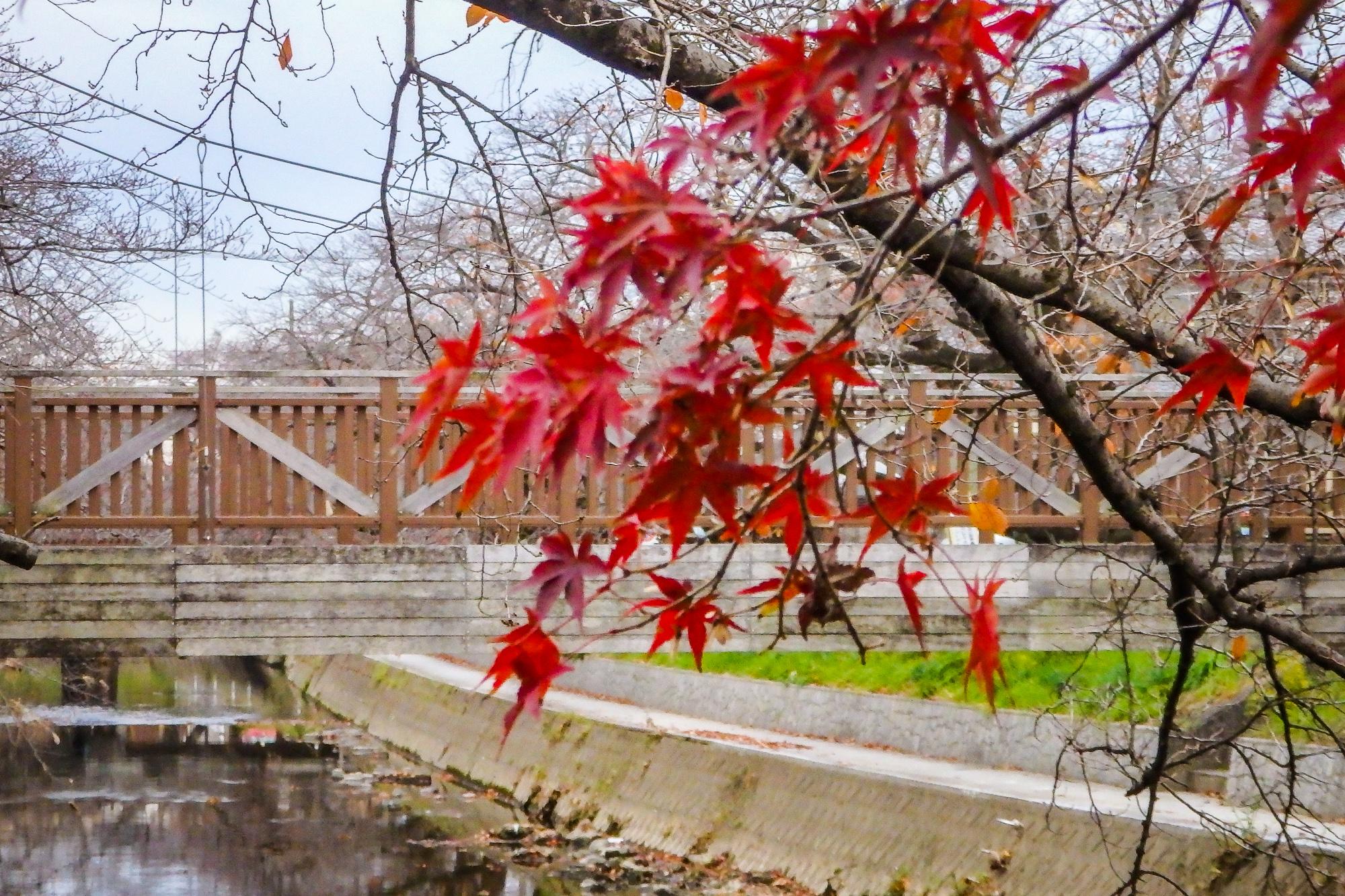 五条川、紅葉