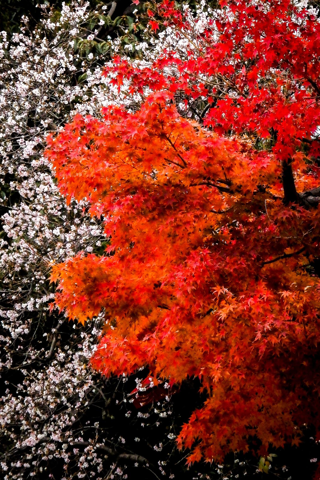 紅葉、四季桜