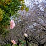 寒咲桜、薔薇